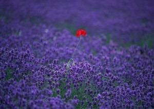 the-lone-poppy