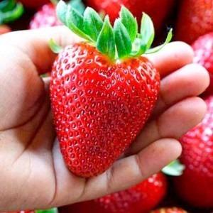 capsuni-cu-fructe-mari-monterey-5-rasaduri3